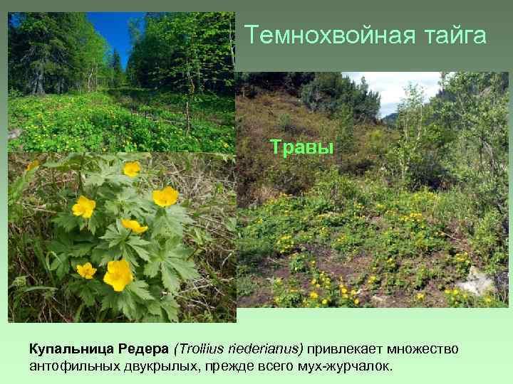 Темнохвойная тайга Травы Купальница Редера (Trollius riederianus) привлекает множество антофильных двукрылых, прежде всего мух-журчалок.