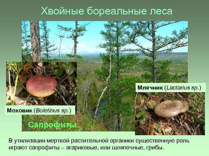 Хвойные бореальные леса Млечник (Lactarius sp. ) Моховик (Boletinus sp. ) Сапрофиты В утилизации