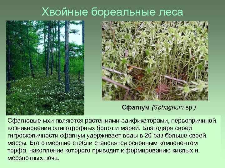 Хвойные бореальные леса Сфагнум (Sphagnum sp. ) Сфагновые мхи являются растениями-эдификаторами, первопричиной возникновения олиготрофных