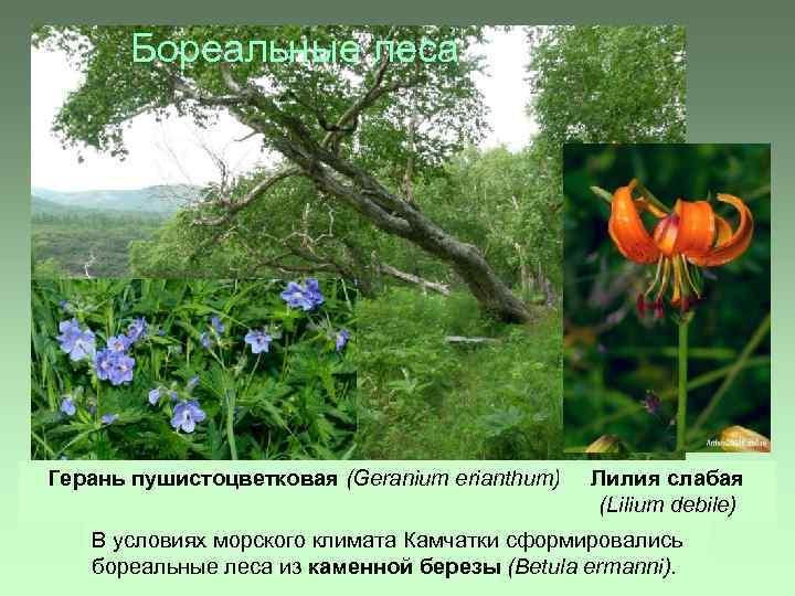 Бореальные леса Герань пушистоцветковая (Geranium erianthum) Лилия слабая (Lilium debile) В условиях морского климата
