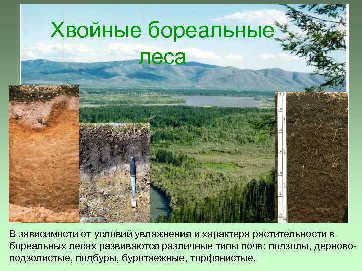 Хвойные бореальные леса В зависимости от условий увлажнения и характера растительности в бореальных лесах