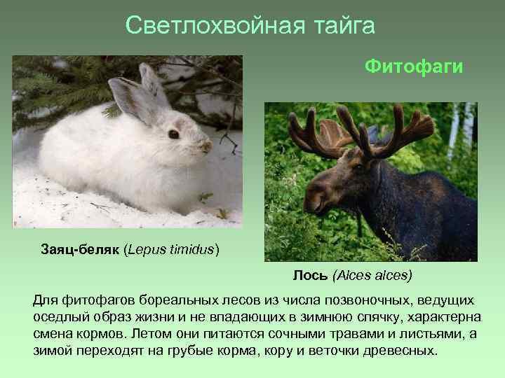 Светлохвойная тайга Фитофаги Заяц-беляк (Lepus timidus) Лось (Alces alces) Для фитофагов бореальных лесов из
