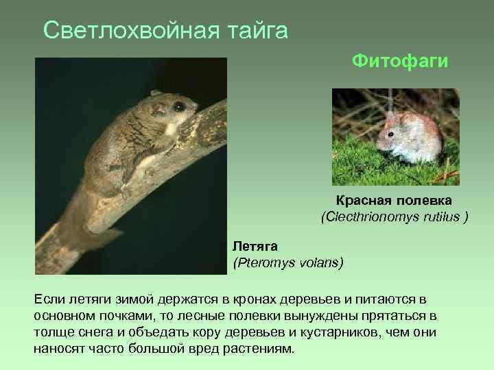 Светлохвойная тайга Фитофаги Красная полевка (Clecthrionomys rutilus ) Летяга (Pteromys volans) Если летяги зимой