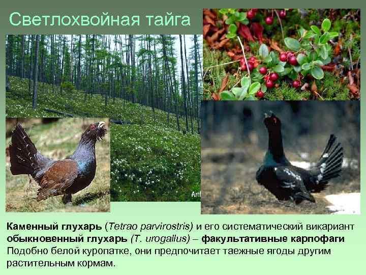 Светлохвойная тайга Каменный глухарь (Tetrao parvirostris) и его систематический викариант обыкновенный глухарь (T. urogallus)