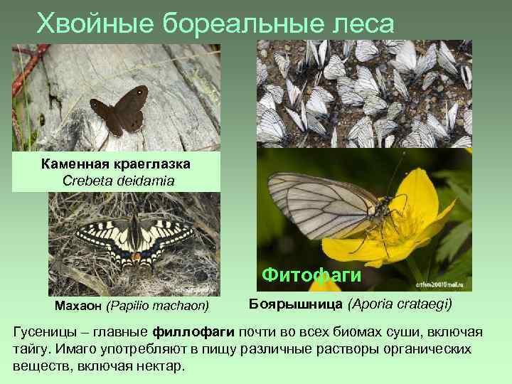 Хвойные бореальные леса Каменная краеглазка Crebeta deidamia Фитофаги Махаон (Papilio machaon) Боярышница (Aporia crataegi)