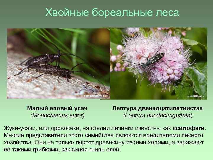 Хвойные бореальные леса Малый еловый усач (Monochamus sutor) Лептура двенадцатипятнистая (Leptura duodecimguttata) Жуки-усачи, или