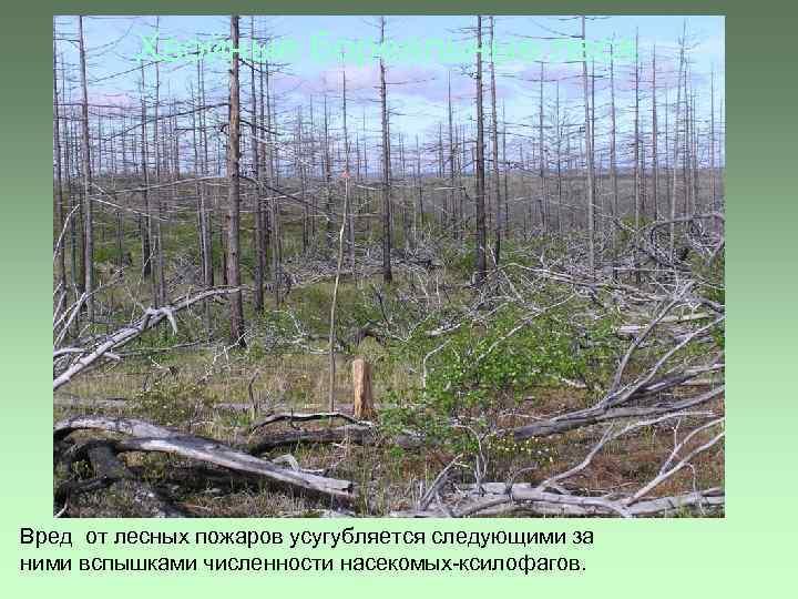 Хвойные бореальные леса Вред от лесных пожаров усугубляется следующими за ними вспышками численности насекомых-ксилофагов.
