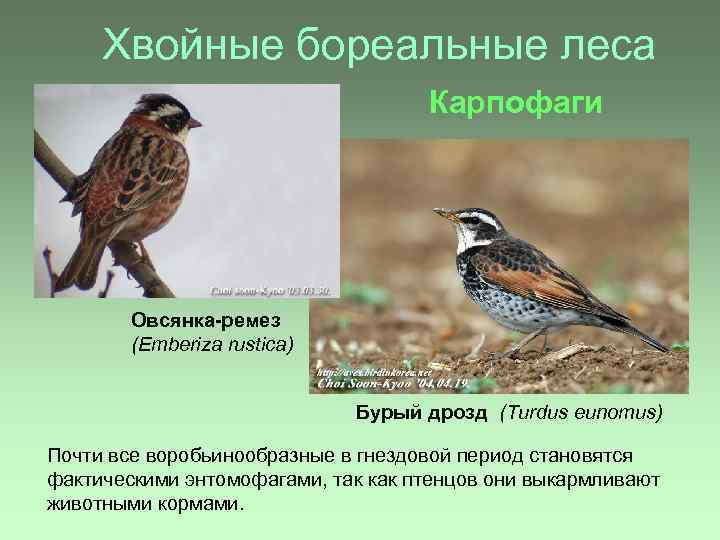 Хвойные бореальные леса Карпофаги Овсянка-ремез (Emberiza rustica) Бурый дрозд (Turdus eunomus) Почти все воробьинообразные