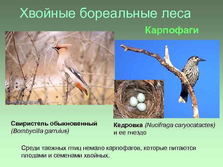 Хвойные бореальные леса Карпофаги Свиристель обыкновенный (Bombycilla garrulus) Кедровка (Nucifraga caryocatactes) и ее гнездо
