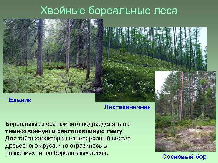 Хвойные бореальные леса Ельник Лиственничник Бореальные леса принято подразделять на темнохвойную и светлохвойную тайгу.