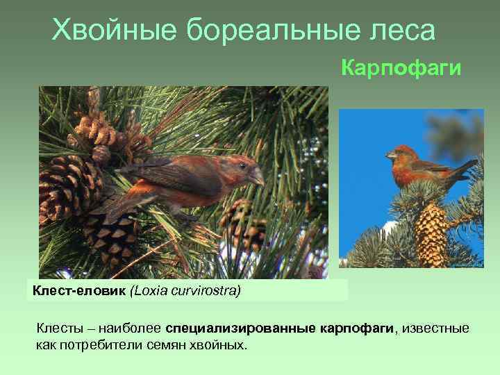 Хвойные бореальные леса Карпофаги Клест-еловик (Loxia curvirostra) Клесты – наиболее специализированные карпофаги, известные как