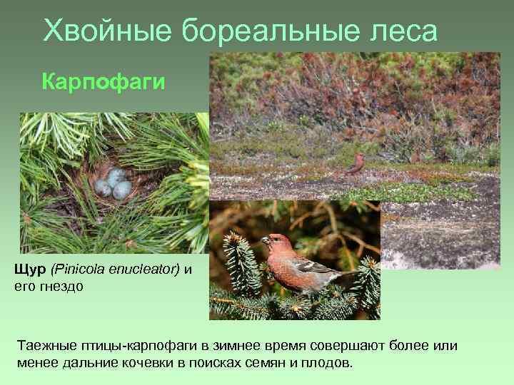 Хвойные бореальные леса Карпофаги Щур (Pinicola enucleator) и его гнездо Таежные птицы-карпофаги в зимнее