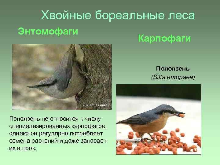 Хвойные бореальные леса Энтомофаги Карпофаги Поползень (Sitta europaea) Поползень не относится к числу специализированных
