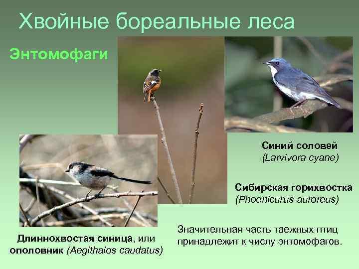 Хвойные бореальные леса Энтомофаги Синий соловей (Larvivora cyane) Сибирская горихвостка (Phoenicurus auroreus) Длиннохвостая синица,