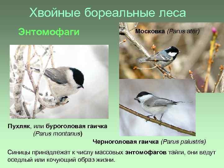 Хвойные бореальные леса Энтомофаги Московка (Parus ater) Пухляк, или буроголовая гаичка (Parus montanus) Черноголовая