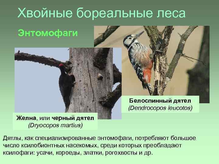 Хвойные бореальные леса Энтомофаги Белоспинный дятел (Dendrocopos leucotos) Желна, или черный дятел (Dryocopos martius)