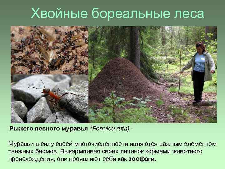Хвойные бореальные леса Рыжего лесного муравья (Formica rufa) Муравьи в силу своей многочисленности являются