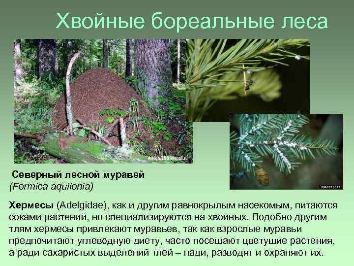 Хвойные бореальные леса Северный лесной муравей (Formica aquilonia) Хермесы (Adelgidae), как и другим равнокрылым