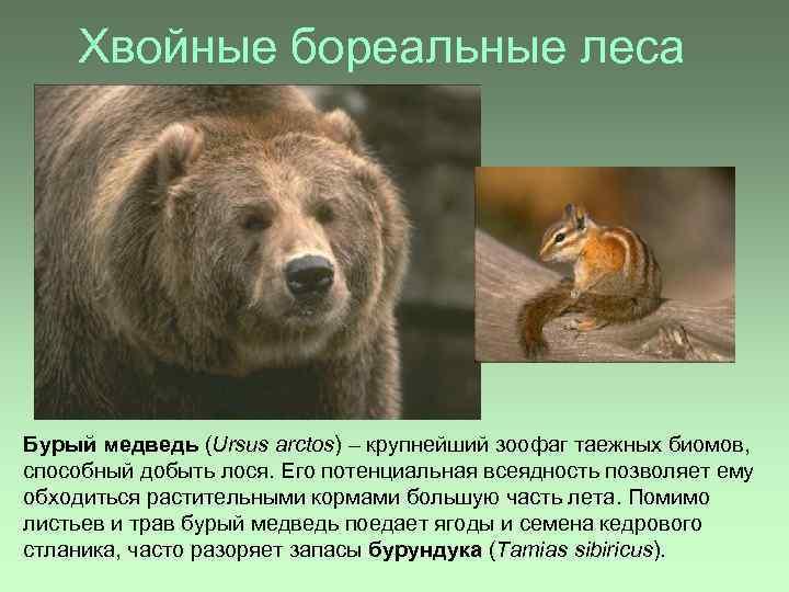 Хвойные бореальные леса Бурый медведь (Ursus arctos) – крупнейший зоофаг таежных биомов, способный добыть