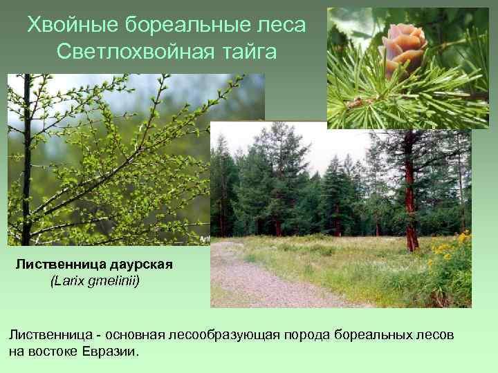 Хвойные бореальные леса Светлохвойная тайга Лиственница даурская (Larix gmelinii) Лиственница - основная лесообразующая порода