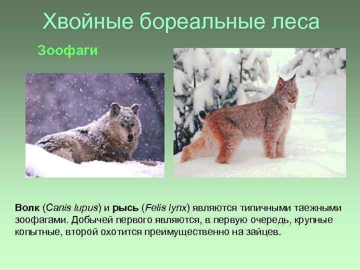 Хвойные бореальные леса Зоофаги Волк (Canis lupus) и рысь (Felis lynx) являются типичными таежными