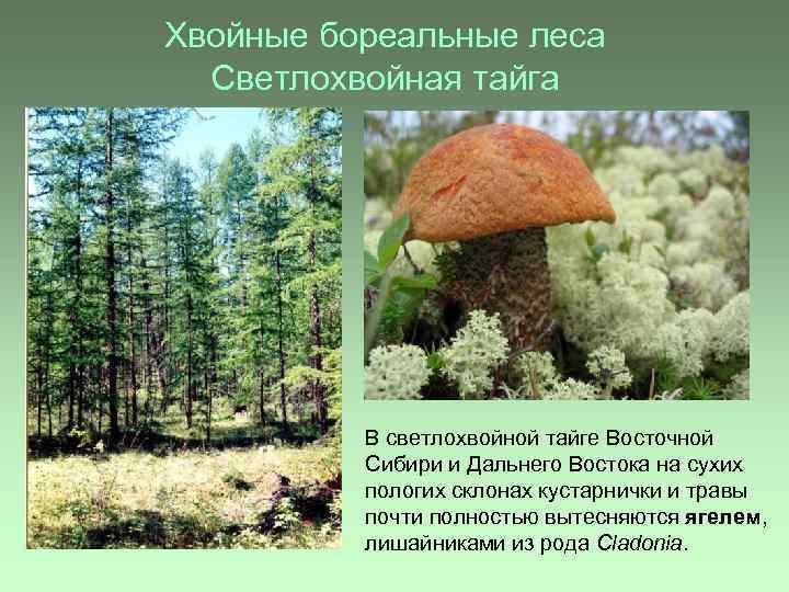 Хвойные бореальные леса Светлохвойная тайга В светлохвойной тайге Восточной Сибири и Дальнего Востока на