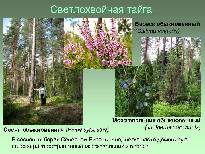 Светлохвойная тайга Вереск обыкновенный (Calluna vulgaris) Можжевельник обыкновенный (Juniperus communis) Сосна обыкновенная (Pinus sylvestris)