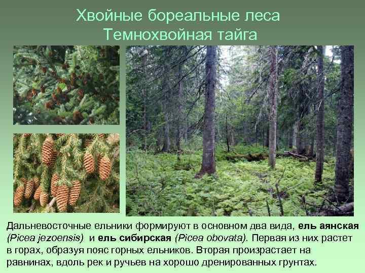 Хвойные бореальные леса Темнохвойная тайга Дальневосточные ельники формируют в основном два вида, ель аянская