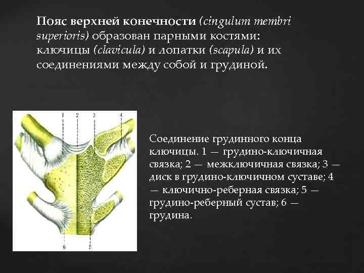 Пояс верхней конечности (cingulum membri superioris) образован парными костями: ключицы (clavicula) и лопатки (scapula)