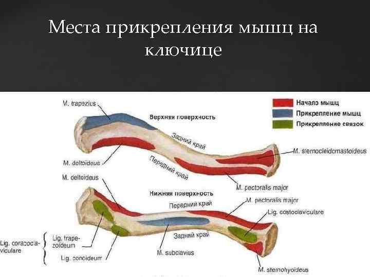 Места прикрепления мышц на ключице