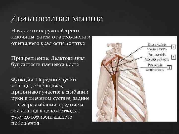 Дельтовидная мышца Начало: от наружной трети ключицы, затем от акромиона и от нижнего края