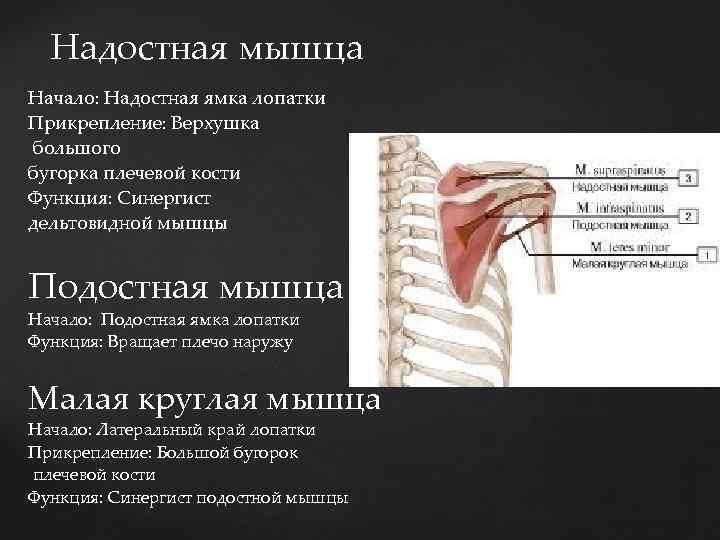 Надостная мышца Начало: Надостная ямка лопатки Начало: Прикрепление: Верхушка большого бугорка плечевой кости Функция: