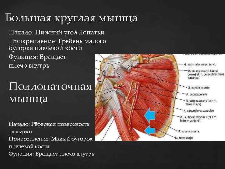 Большая круглая мышца Начало: Нижний угол лопатки Начало: Нижний Прикрепление: Гребень малого бугорка плечевой