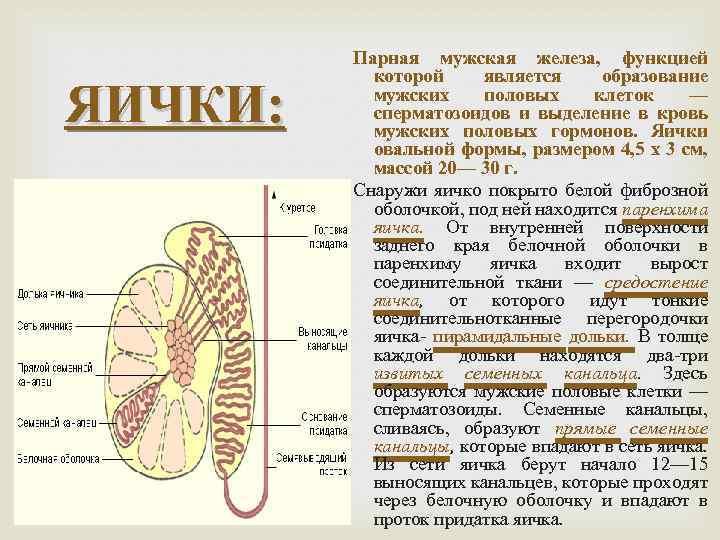 ЯИЧКИ: Парная мужская железа, функцией которой является образование мужских половых клеток — сперматозоидов и