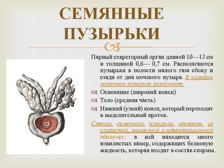 СЕМЯННЫЕ ПУЗЫРЬКИ Парный секреторный орган длиной 10— 12 см и толщиной 0, 6— 0,