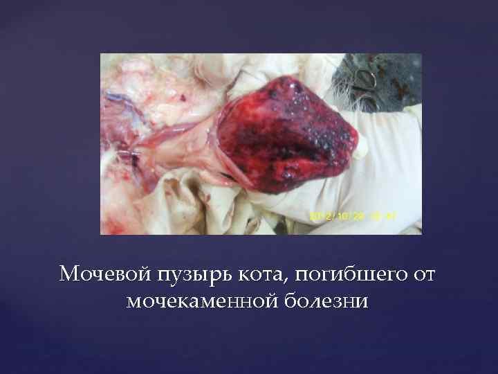 Мочевой пузырь кота, погибшего от мочекаменной болезни
