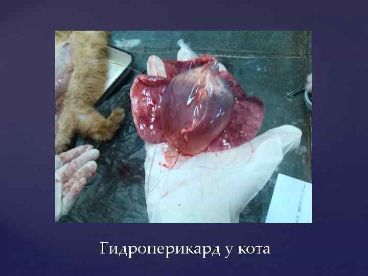 Гидроперикард у кота