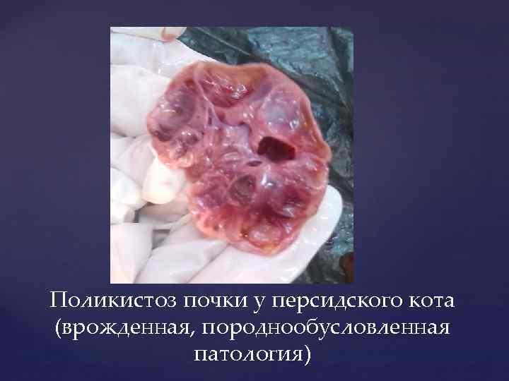 Поликистоз почки у персидского кота (врожденная, породнообусловленная патология)