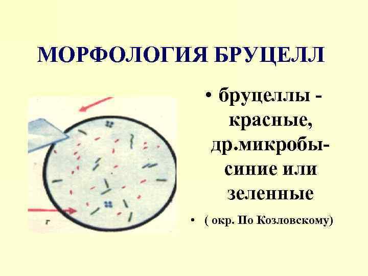 МОРФОЛОГИЯ БРУЦЕЛЛ • бруцеллы красные, др. микробысиние или зеленные • ( окр. По Козловскому)