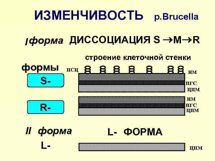 ИЗМЕНЧИВОСТЬ р. Brucella I форма ДИССОЦИАЦИЯ S ® M ® R строение клеточной стенки