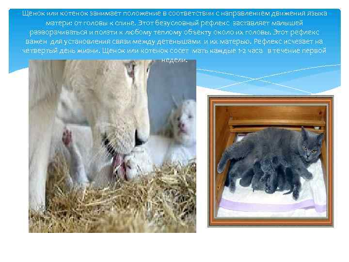 Щенок или котенок занимает положение в соответствии с направлением движения языка матери: от головы