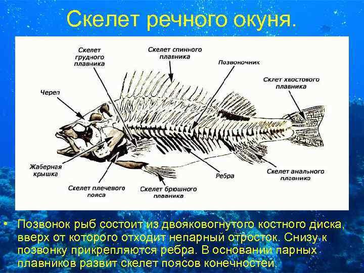 Скелет речного окуня. • Позвонок рыб состоит из двояковогнутого костного диска, вверх от которого