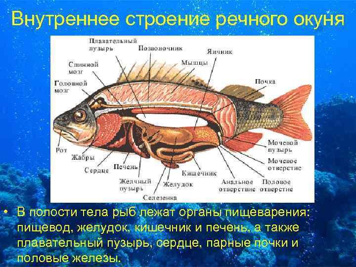 Внутреннее строение речного окуня • В полости тела рыб лежат органы пищеварения: пищевод, желудок,