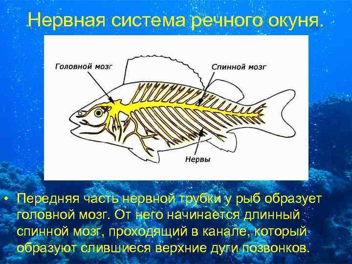 Нервная система речного окуня. • Передняя часть нервной трубки у рыб образует головной мозг.