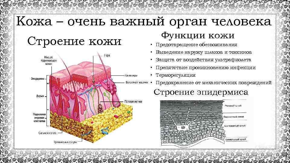 Кожа – очень важный орган человека Строение кожи Функции кожи • Предотвращение обезвоживания •
