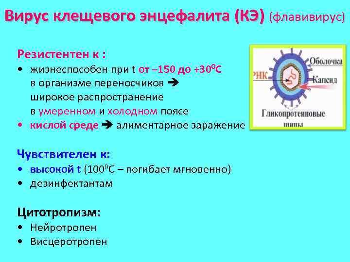 Вирус клещевого энцефалита (КЭ) (флавивирус) Резистентен к : • жизнеспособен при t от –