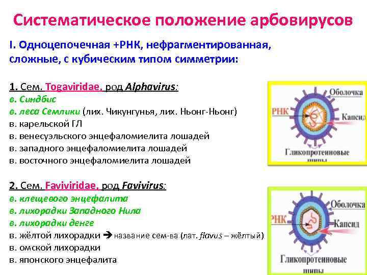 Систематическое положение арбовирусов I. Одноцепочечная +РНК, нефрагментированная, сложные, с кубическим типом симметрии: 1. Сем.