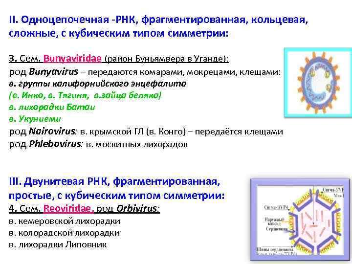 II. Одноцепочечная -РНК, фрагментированная, кольцевая, сложные, с кубическим типом симметрии: 3. Сем. Bunyaviridae (район
