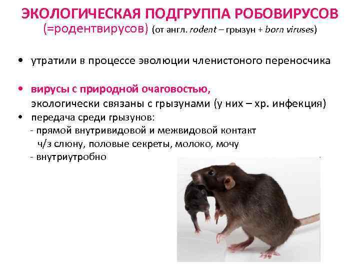 ЭКОЛОГИЧЕСКАЯ ПОДГРУППА РОБОВИРУСОВ (=родентвирусов) (от англ. rodent – грызун + born viruses) • утратили