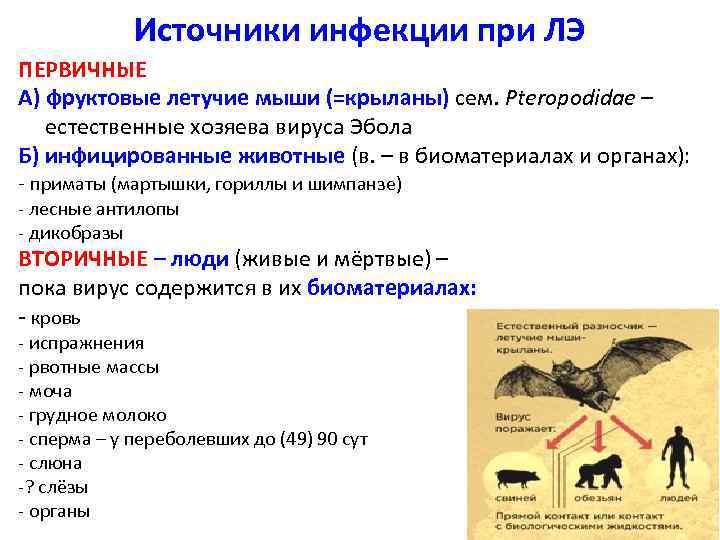 Источники инфекции при ЛЭ ПЕРВИЧНЫЕ А) фруктовые летучие мыши (=крыланы) сем. Pteropodidae – естественные